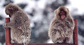 SnowMonkeys.jpg